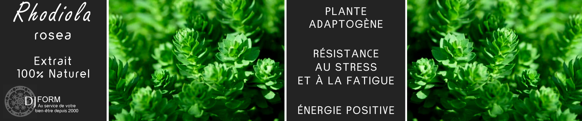 Rhodiola rosea, plante adaptogène, stress, fatigue